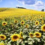 tuscany sunflower