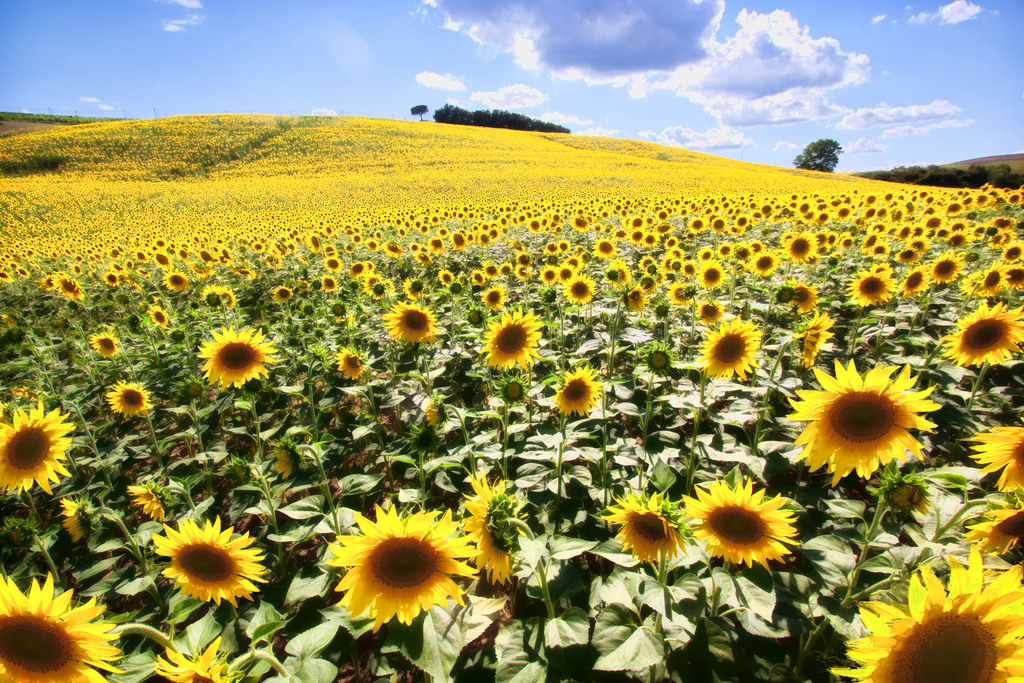 Wining In Tuscany Among Sunflower Fields The Wander Life
