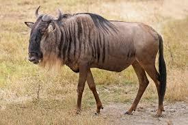 wildebeest-serengeti